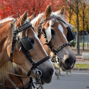 Two horses used for Savannah carriage tours
