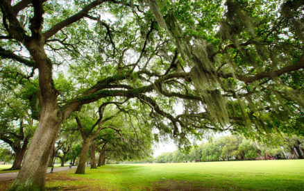 savannah oaks are world famous, seeing them is one of the best things to do in savannah ga