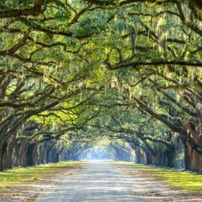 Avenue lined with oak trees leading to the Wormsloe Historic Site