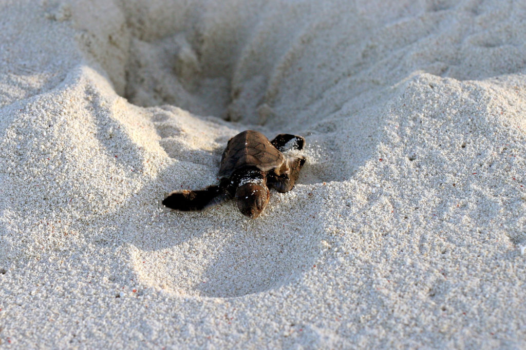 Sea Turtle escaping Nest