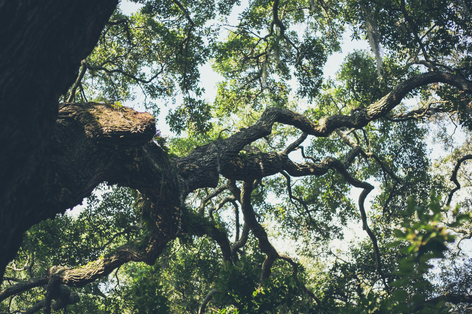Twisted Live Oak Branches Covered In Spanish Moss