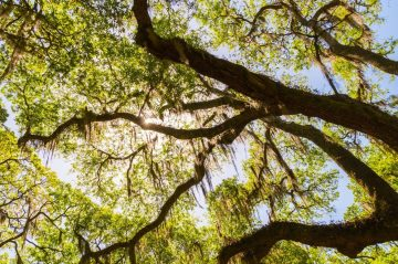 Canopy of old live oak trees draped in spanish moss at Wright Square